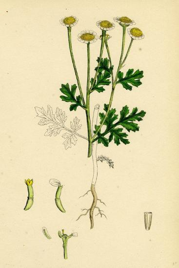 Chrysanthemum Parthenium Common Feverfew--Giclee Print