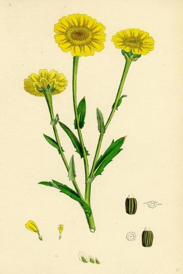 Chrysanthemum Segetum Corn Marigold--Giclee Print