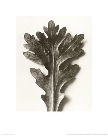 https://imgc.artprintimages.com/img/print/chrysanthemum-segetum-feverfew_u-l-f101kj0.jpg?p=0
