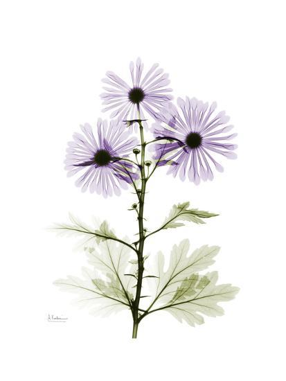 Chrysanthemum Trio-Albert Koetsier-Premium Giclee Print