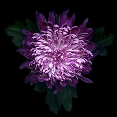 Chrysanthemum-Magda Indigo-Photographic Print