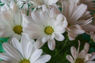 https://imgc.artprintimages.com/img/print/chrysanthemums-in-white_u-l-q12tp7h0.jpg?p=0
