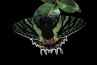 Chrysiridia Croesus (East African Sunset Moth)-Paul Starosta-Photographic Print