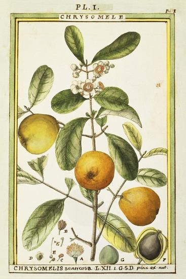 Chrysomele (Chrysomelis Senticosa), 1789--Giclee Print