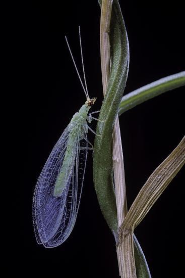 Chrysopa Carnea (Green Lacewing)-Paul Starosta-Photographic Print