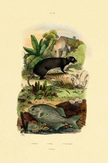 Chub, 1833-39--Giclee Print