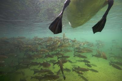 Chub Fish (Leuciscus Cephalus) and Mute Swan (Cygnus Color) Swimming Over, Rhine River, Switzerland-Michel Roggo-Photographic Print