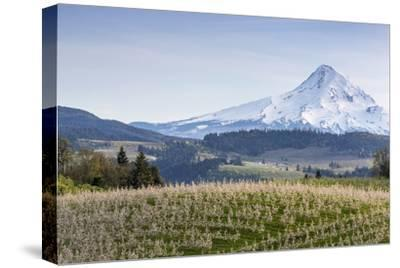 Apple Orchard in Blood with Mount Hood in the Background, Oregon, USA