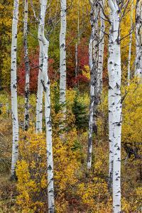 Aspen grove in peak fall colors in Glacier National Park, Montana, USA by Chuck Haney