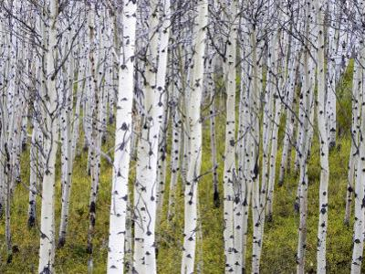 Aspen Grove near East Glacier, Montana, USA by Chuck Haney