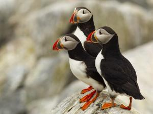 Atlantic Puffins on Machias Seal Island Off the Coast of Cutler, Maine, USA by Chuck Haney