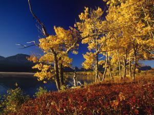 Autumn Cottonwoods, St. Mary Lake, Glacier National Park, Montana, USA by Chuck Haney