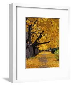 Autumn Maple Trees, Missoula, Montana, USA by Chuck Haney