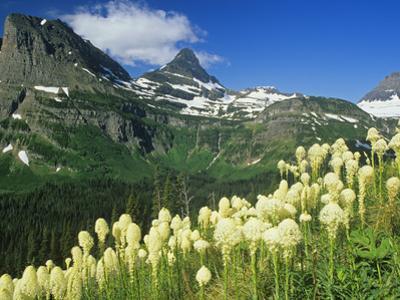 Beargrass Near Logan Pass in Gacier National Park, Montana, Usa