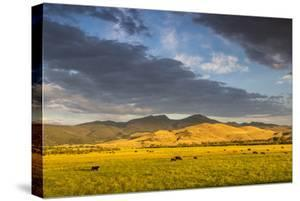 Beef Cattle Graze in Farm Pasture, Sunrise, Tobacco Root Mountains, Montana, USA by Chuck Haney
