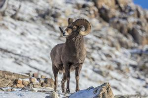 Bighorn sheep ram in early winter in Glacier National Park, Montana, USA by Chuck Haney