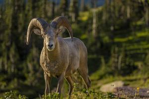 Bighorn sheep ram in Glacier National Park, Montana, USA by Chuck Haney