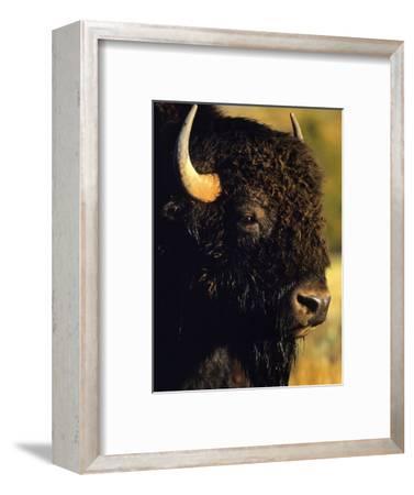 Bison Bull Portrait