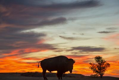 Bison Bull Silhouette, Theodore Roosevelt NP, North Dakota, USA