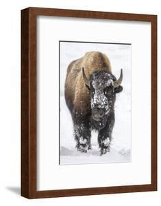 Bison bull with snowy face in Yellowstone National Park, Wyoming, USA by Chuck Haney