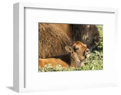 Bison Calf in Theodore Roosevelt National Park, North Dakota, Usa