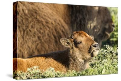 Bison Calf in Theodore Roosevelt National Park, North Dakota, Usa