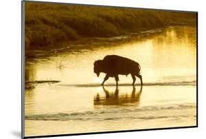 Bison Wildlife Crossing Little Missouri River, Theodore Roosevelt National Park, North Dakota, USA by Chuck Haney