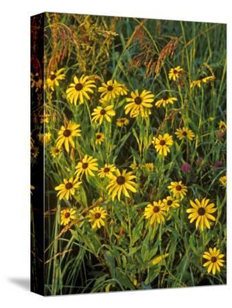Black Eyed Susans Wildflowers, Neil Smith Nwr, Iowa, USA