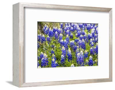 Bluebonnet Wildflowers Near Willow City, Texas, USA