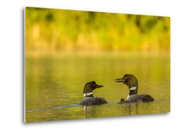 Breeding Pair of Common Loon Birds and Chick on Beaver Lake, Whitefish, Montana, USA