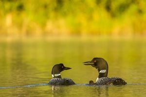 Breeding Pair of Common Loon Birds and Chick on Beaver Lake, Whitefish, Montana, USA by Chuck Haney
