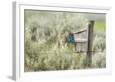 Breeding Pair of Mountain Bluebirds, Mission Valley, Montana, Usa