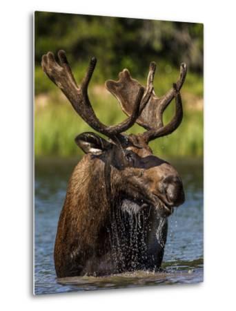 Bull Moose Feeding in Glacier National Park, Montana, USA