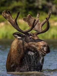 Bull Moose Feeding in Glacier National Park, Montana, USA by Chuck Haney
