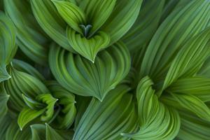 Corn Lily Aka False Hellebore in Glacier National Park, Montana, USA by Chuck Haney
