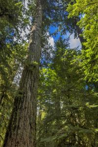 Douglas fir tree, MacMillan Provincial Park Cathedral Grove, British Columbia, Canada by Chuck Haney