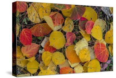 Fallen Aspen Leaves Carpet the Forest Floor in the Uncompahgre National Forest, Colorado, Usa