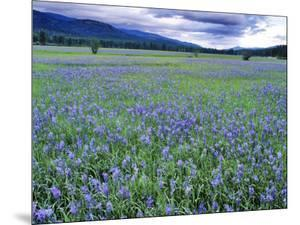 Field of Blue Camas Wildflowers near Huson, Montana, USA by Chuck Haney
