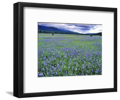 Field of Blue Camas Wildflowers near Huson, Montana, USA