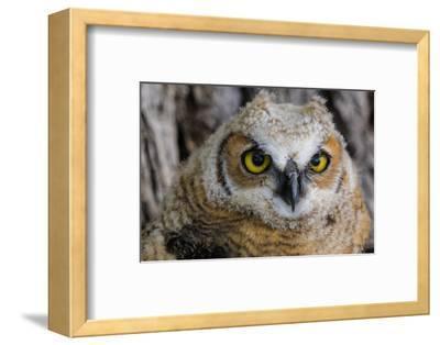 Fledgling Great Horned Owl Portrait in Cottonwood, South Dakota, Usa