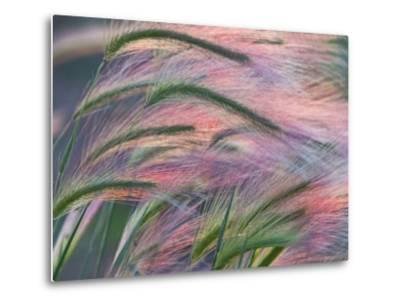 Foxtail Barley Backilt Near East Glacier, Montana, USA