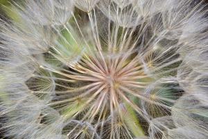 Goatsbeard Seeds in Summer in Whitefish, Montana, USA by Chuck Haney