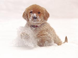 Golden Retriever Pup in Snow by Chuck Haney