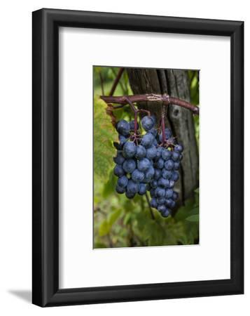 Grapes on the Vine at Winery Near Ludington, Michigan, Usa