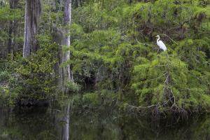Great Egret in Everglades National Park, Florida, USA by Chuck Haney