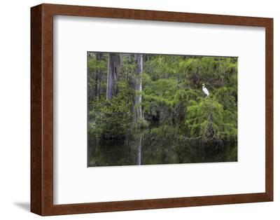 Great Egret in Everglades National Park, Florida, USA