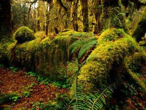 Hall of Mosses Trail in Hoh Rainforest in Olympic National Park, Washington, USA by Chuck Haney
