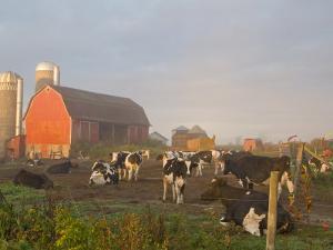 Holstein dairy cows outside a barn, Boyd, Wisconsin, USA by Chuck Haney