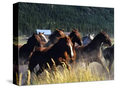 Horses Charge thru Pasture in Marion, Montana, USA by Chuck Haney