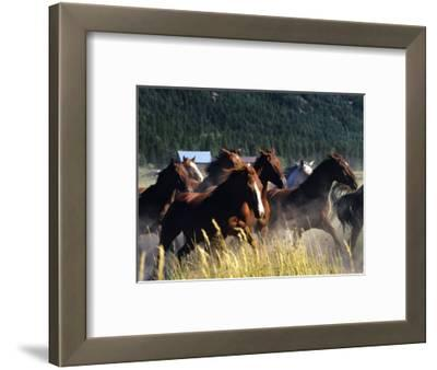 Horses Charge thru Pasture in Marion, Montana, USA